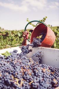 傳統的葡萄採收