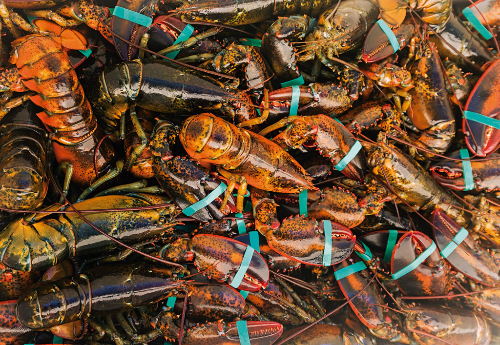 USA, Maine, St. George, Full frame of fresh lobsters