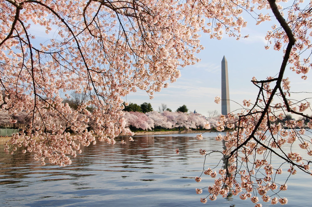 George Washington Monument is framed by blossoms of Japanese cherry trees that line the tidal basin in Washington DC.